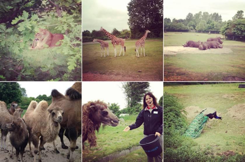 givskud_safari_kollage